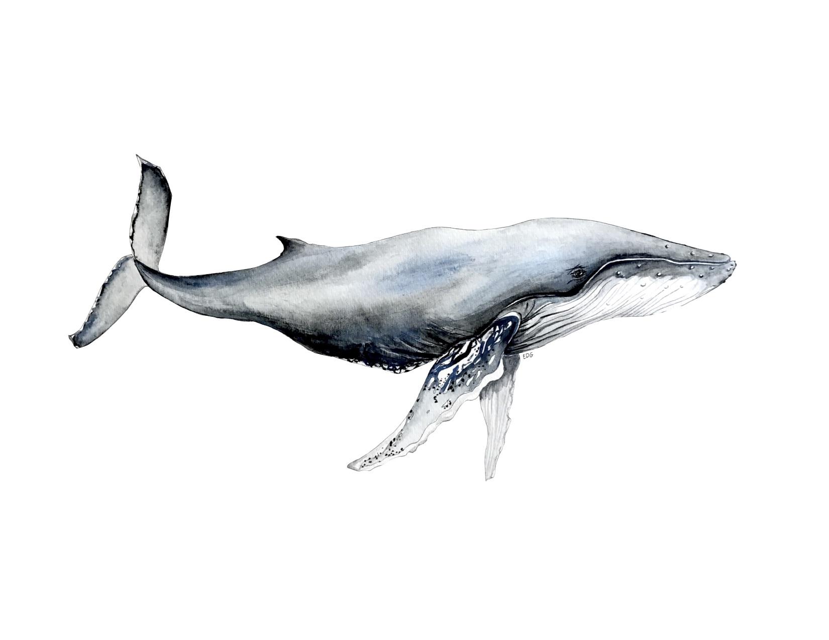 humpbackprint.jpg