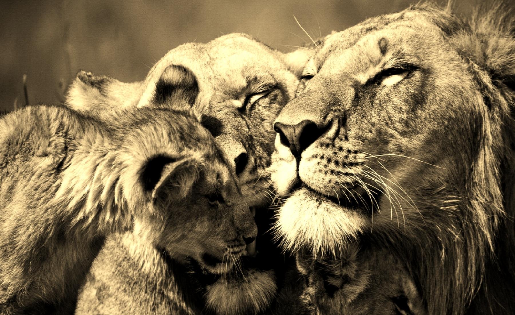 1600x1200-lion-pride-wallpaper.jpg