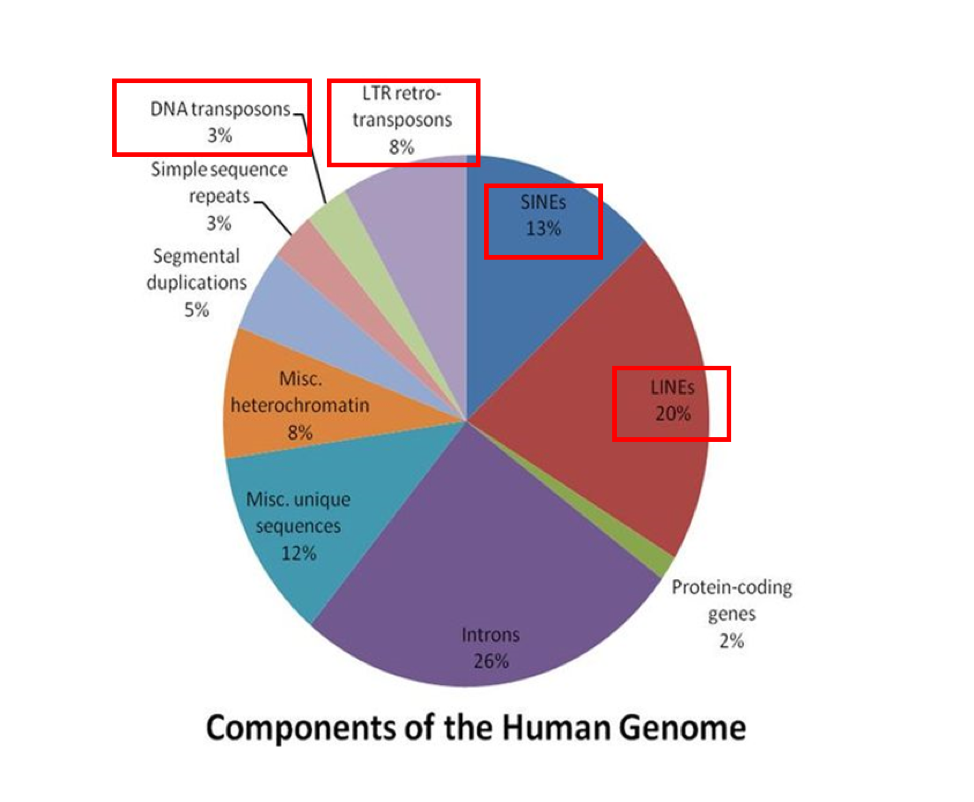 Figure 1. Proportions of various genomic components within the human genome with transposon portions boxed in red. Image retrieved and modified under a  CC Attribution-Share Alike 3.0 Unported license.