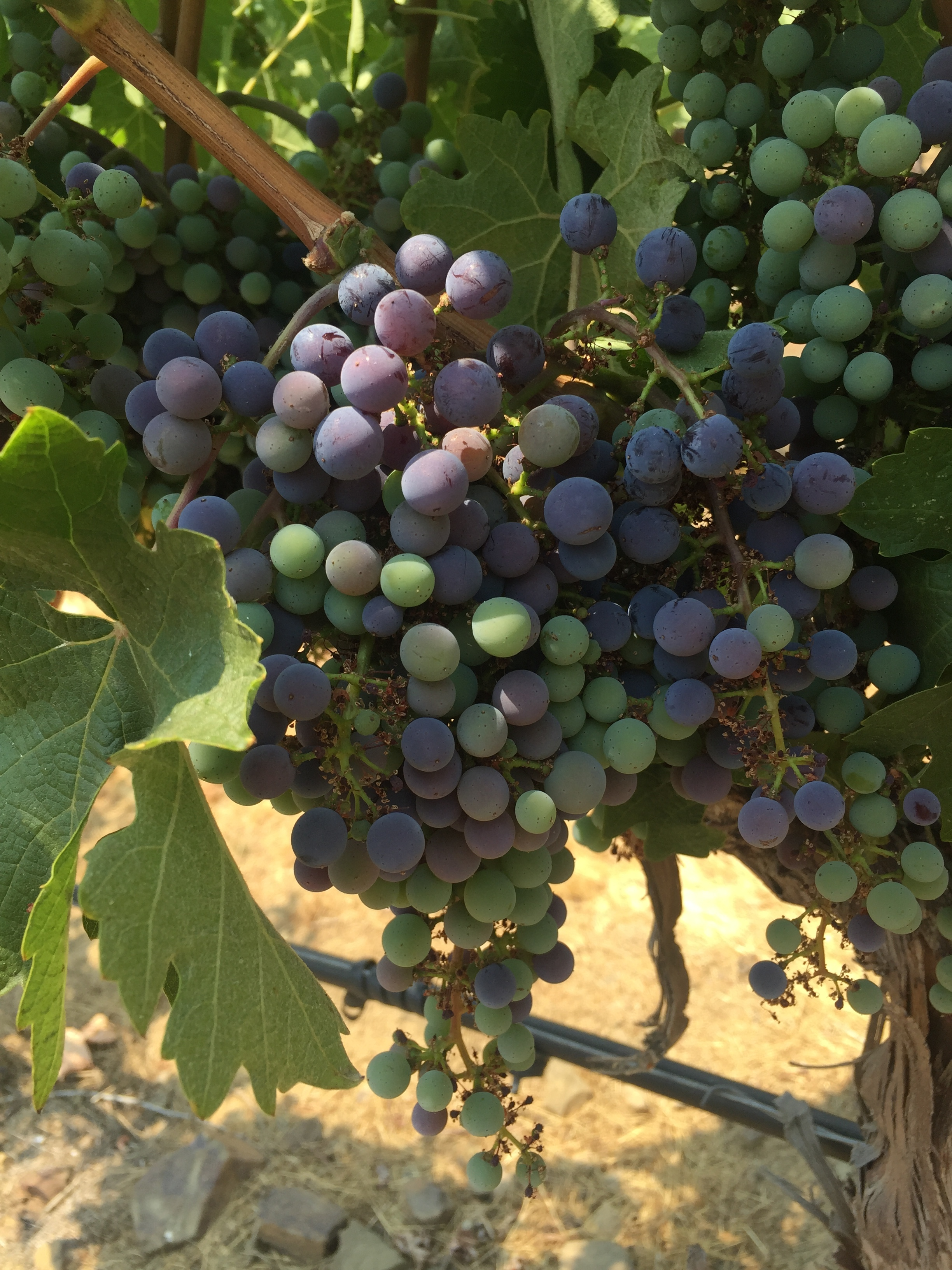 Gratus_Vineyards_Harvest.JPG