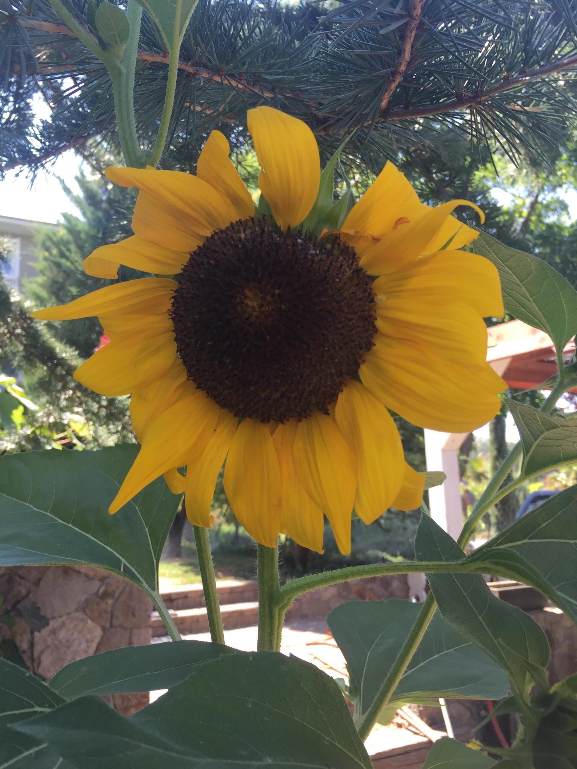 Gratus_Vineyards_sunflower.jpg