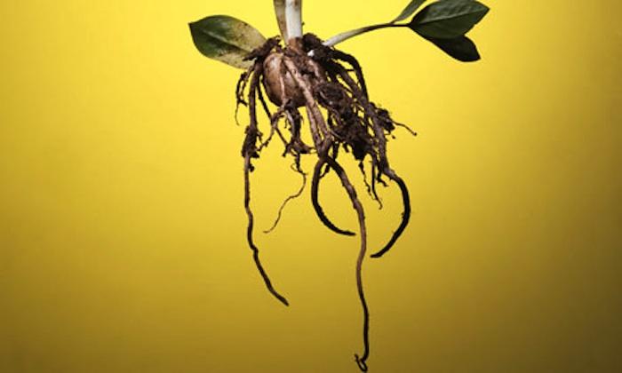 mbb-roots.jpg