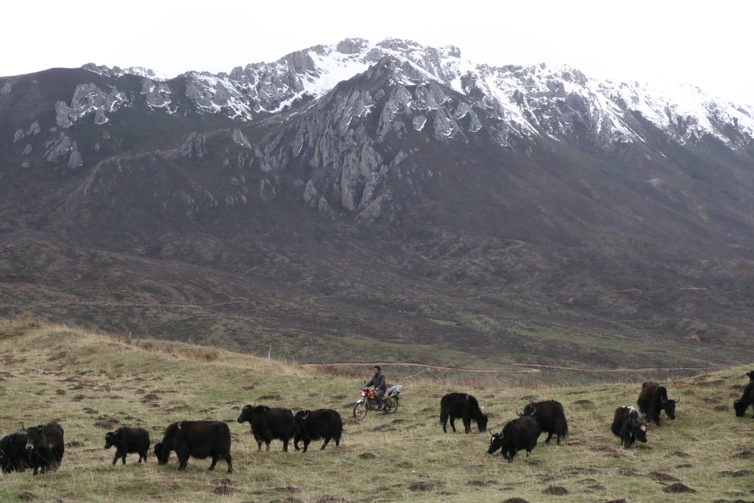 Yaks behind the monastery.