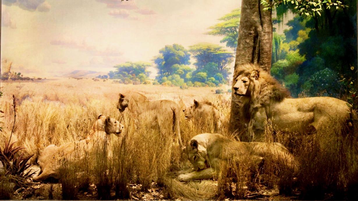 african-lions_wideexact_1230.jpeg