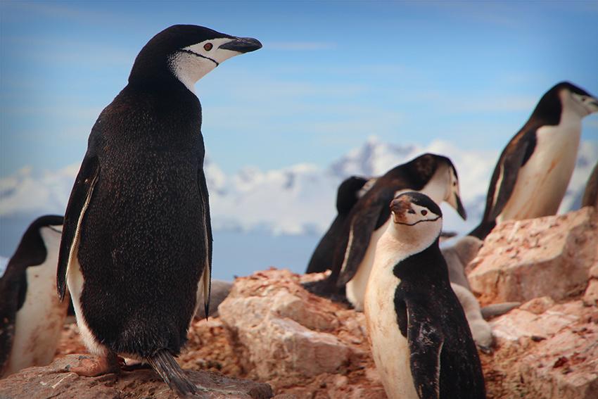 Penguin Family on Rocks