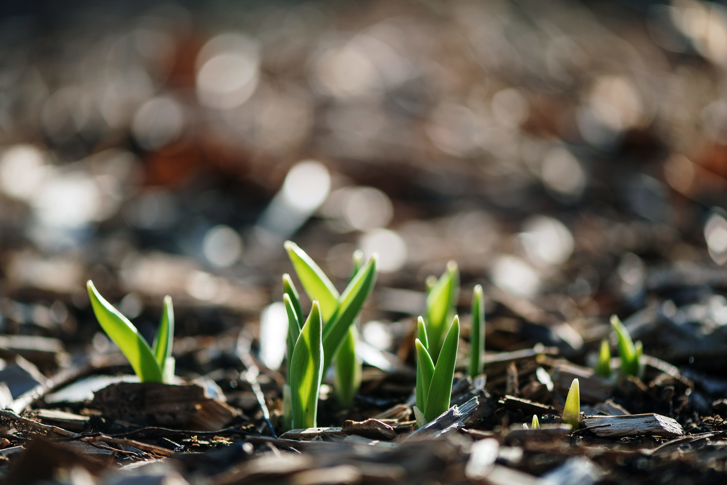 first signs of spring in Lincoln Nebraska with bokeh.jpg