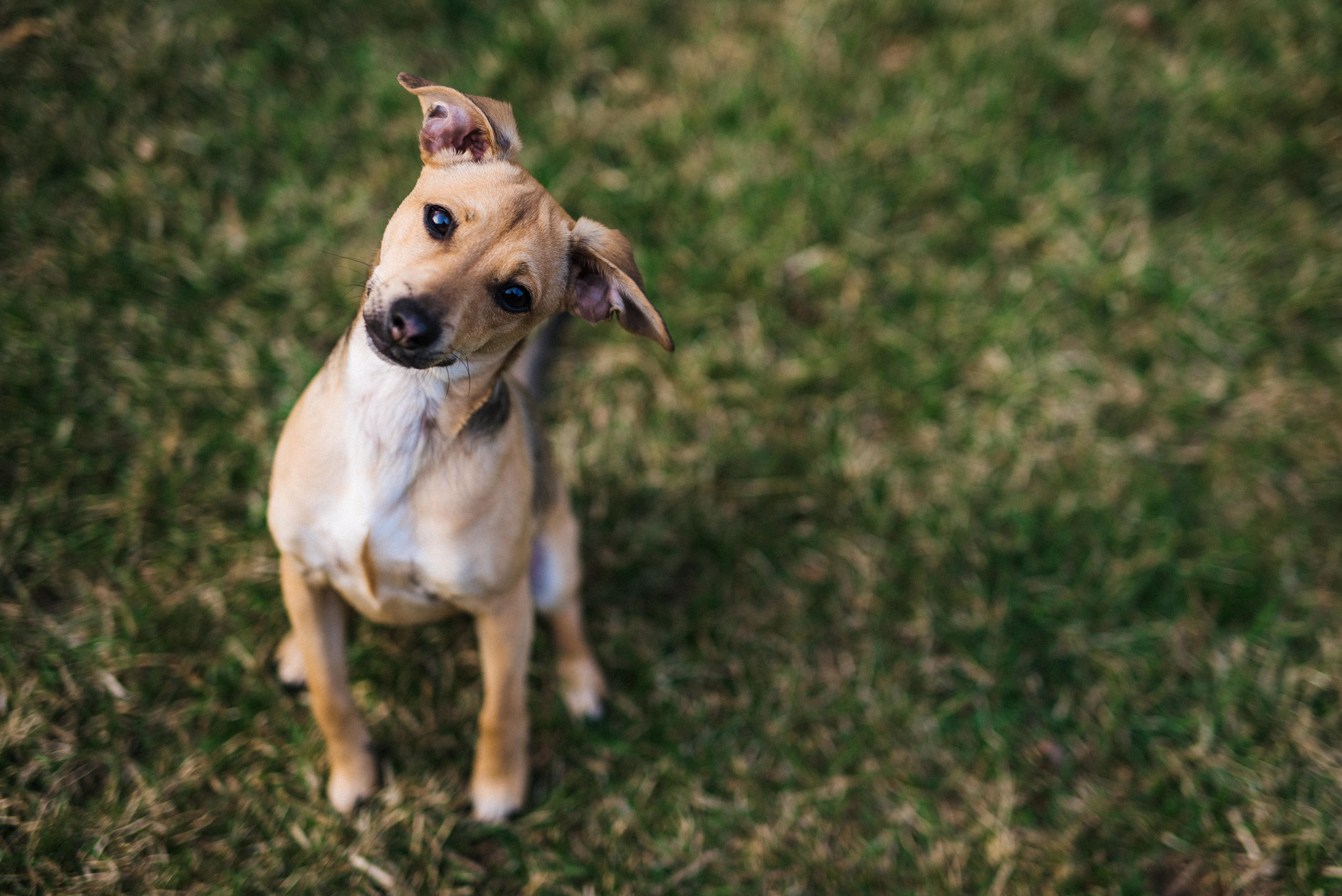 terrier mix puppy with curious expression.jpg