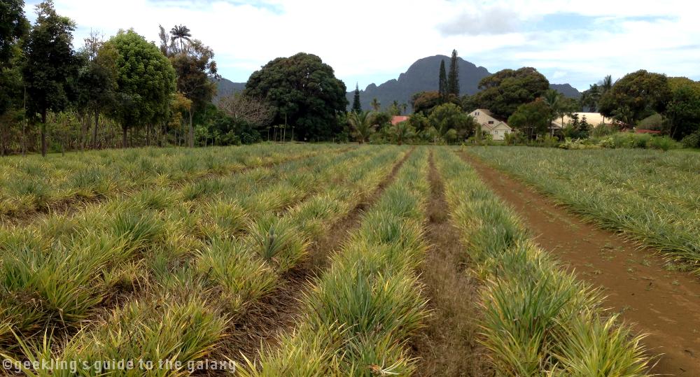Pineapple farming at the Kilohana Plantation in Kauai, HW.