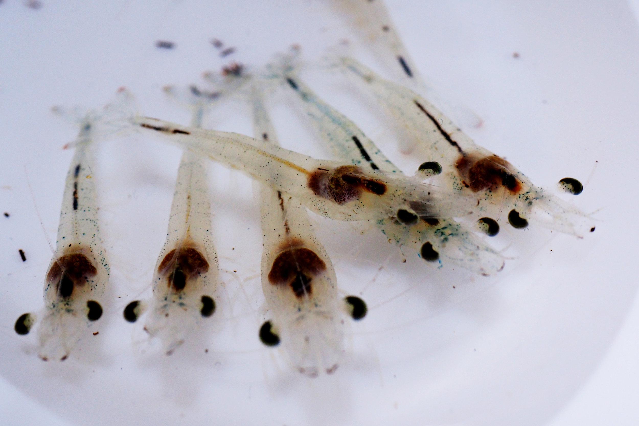 post larve vannamei.jpg