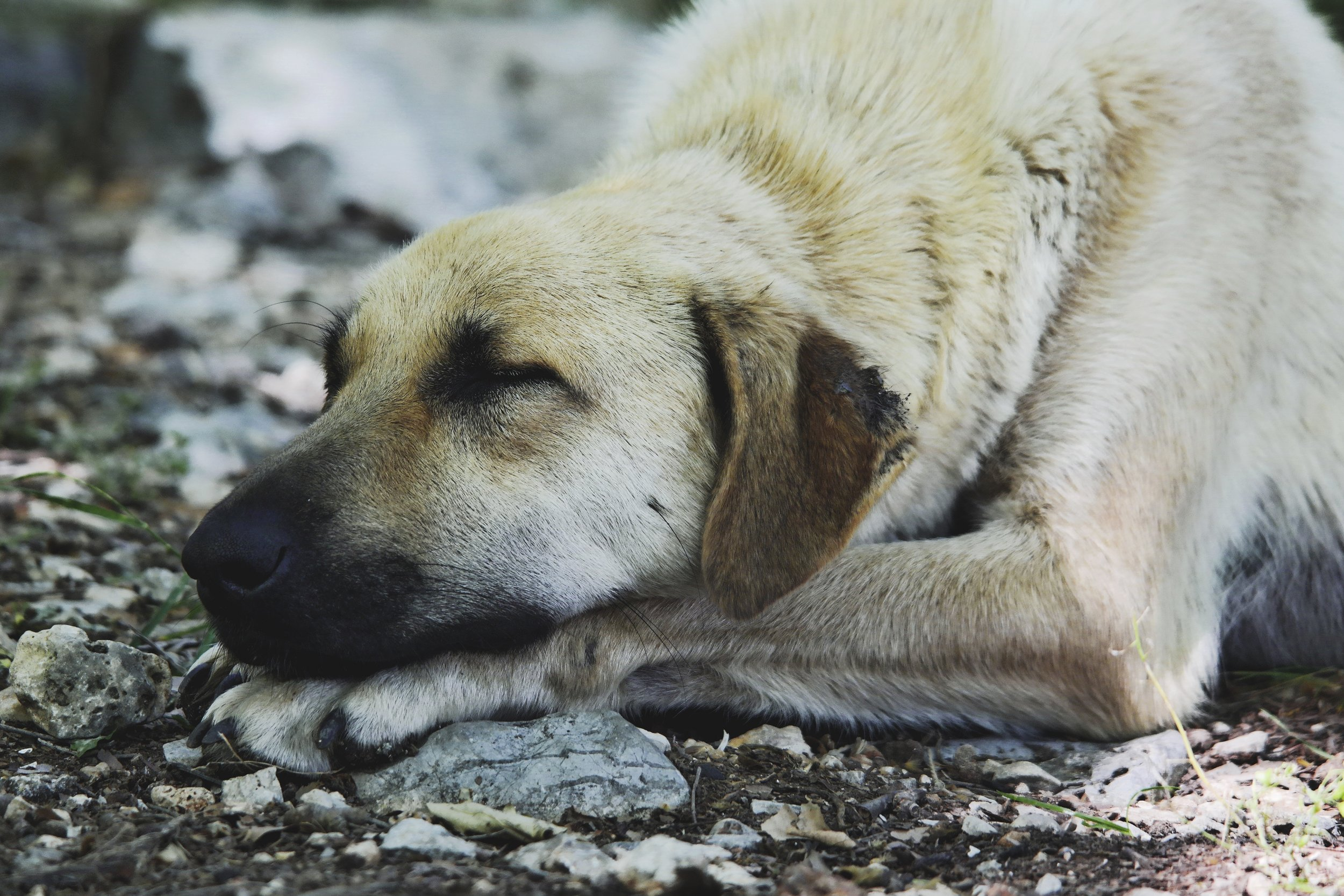 boss-fight-free-high-quality-stock-images-photos-photography-dog-resting-outside.jpg