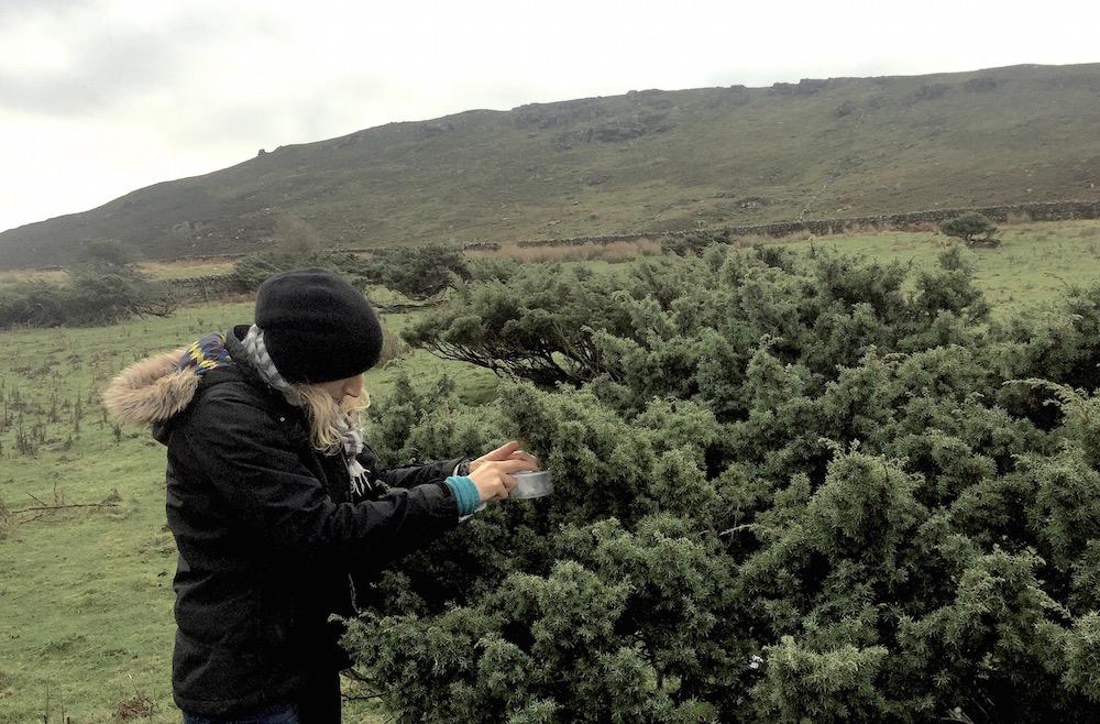 Selecting junipers