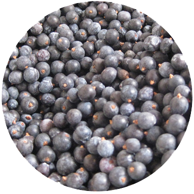 JUNIPER   Juniper is part of the conifer family and on close inspection you will notice that it has tiny needles. The 'berries' are in fact cones. For the 'ripe' juniper in our gin we use 2 strains: the Macedonian provides the classic juniper punch whereas the Italian juniper lends a sweetness and lighter floral element, a daintier offering: the ballerina and the bruiser so to speak. The Macedonian strain is also used in our critical extraction process as one of 3 expressions of juniper to be found in Hepple gin. Purple cones from the Hepple bushes are presently used for our propagation project.