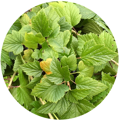 Blackcurrant Leaf   The blackcurrant leaf provides a remarkable offering. Picked and then dried before distillation its taste is faintly sour with a bright and clean freshness. More important is the quenching  'chewiness' that it lends to the mouthfeel.