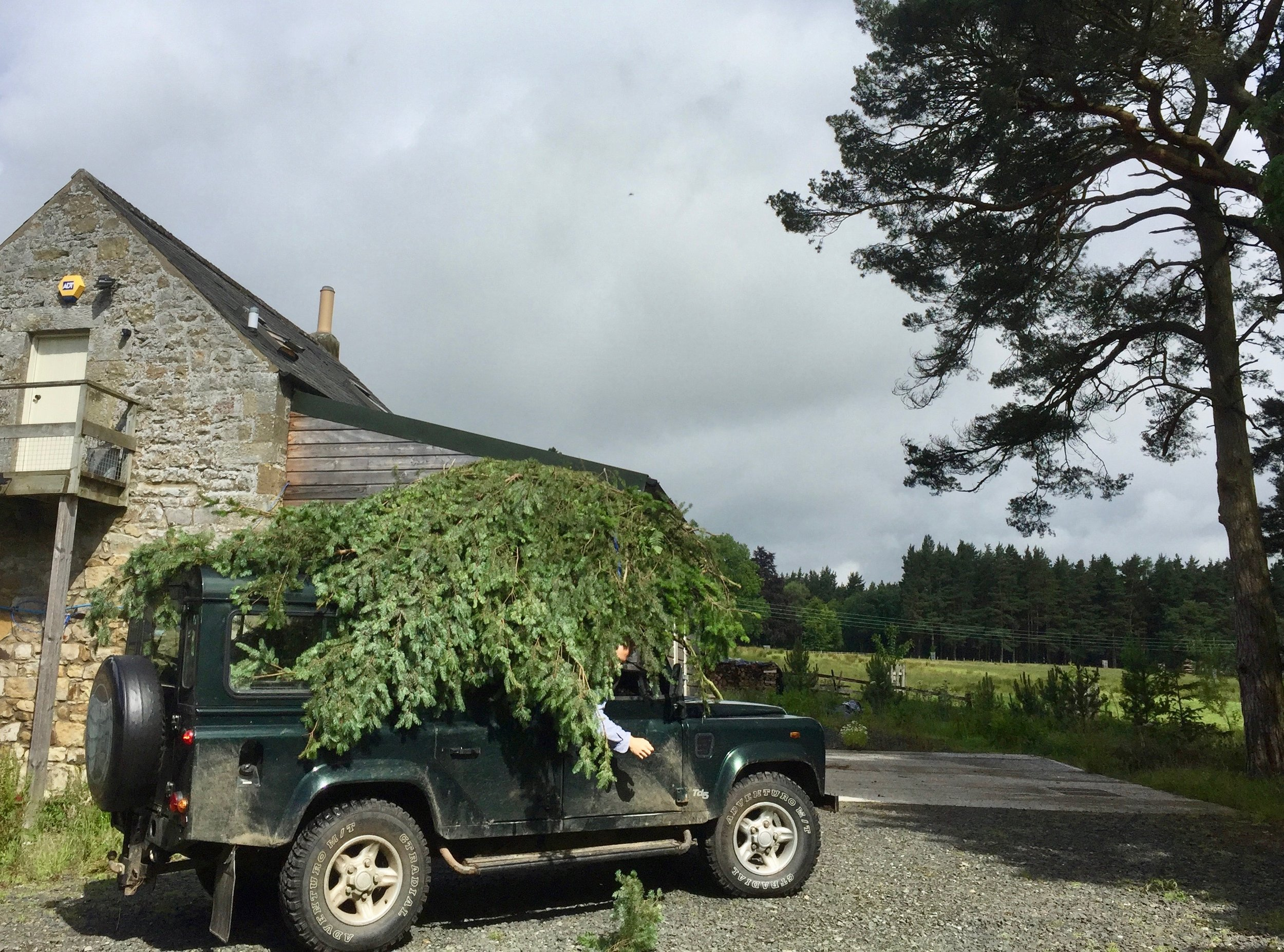 Felled, lopped and conveyed to the distillery.