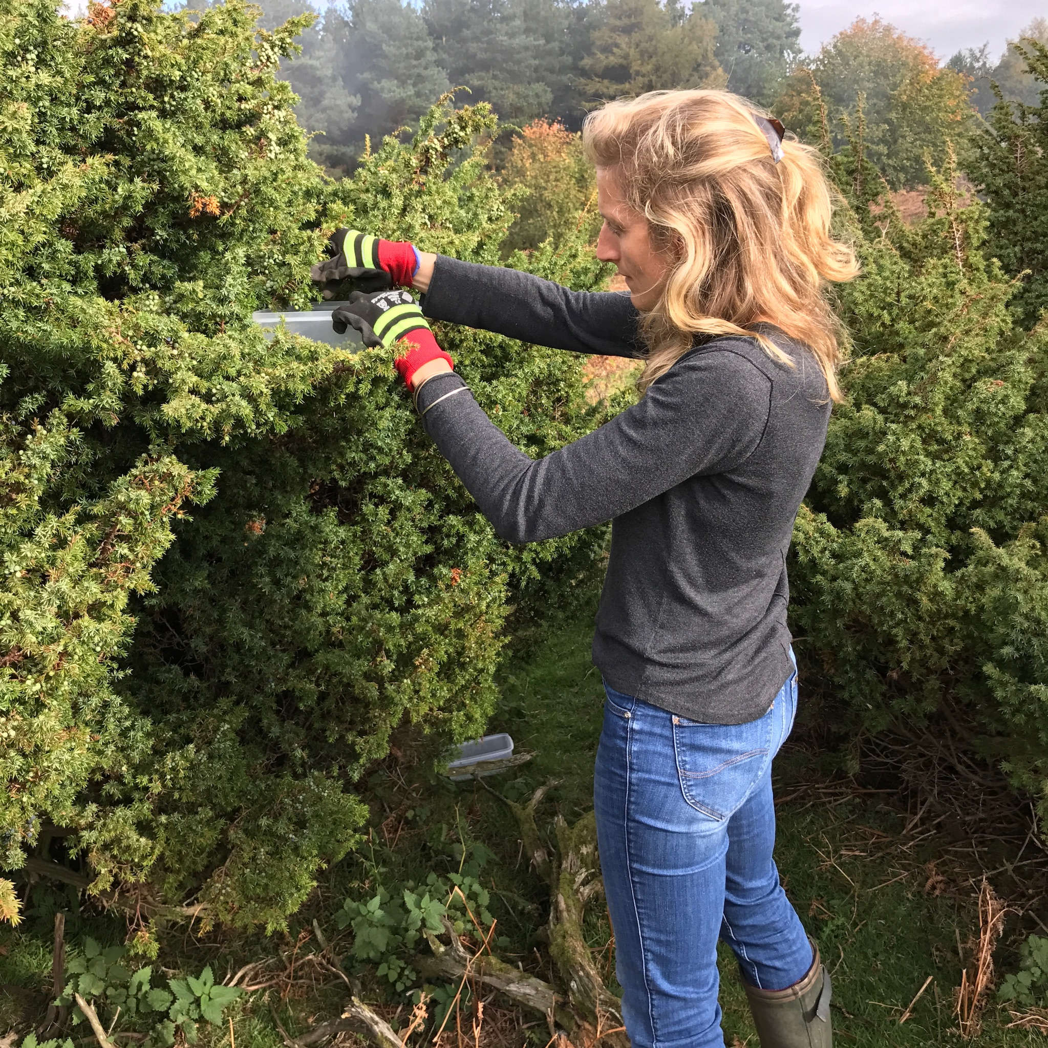 Lucy, Walter's wife, picking juniper at Hepple.