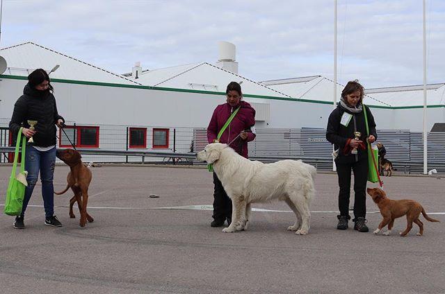 Congratz too our BIS (Best In Show), the Best In Show dog is the Rhodesian Ridgeback photo: @zseerl  #pennut #vasaa #rhodesianridgeback #toller #hunder #hundar #dogs #dog #hundshow #matchshow #bestinshow #bis #BIS