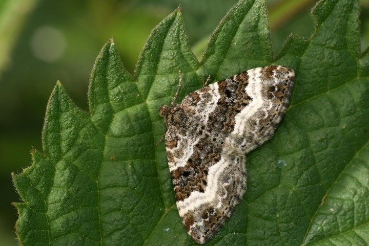 Common Carpet moth © Ben Sale