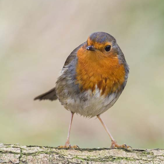 A robin likes a nest box with an open front