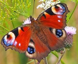 peacock-butterfly-1526939_640.jpg