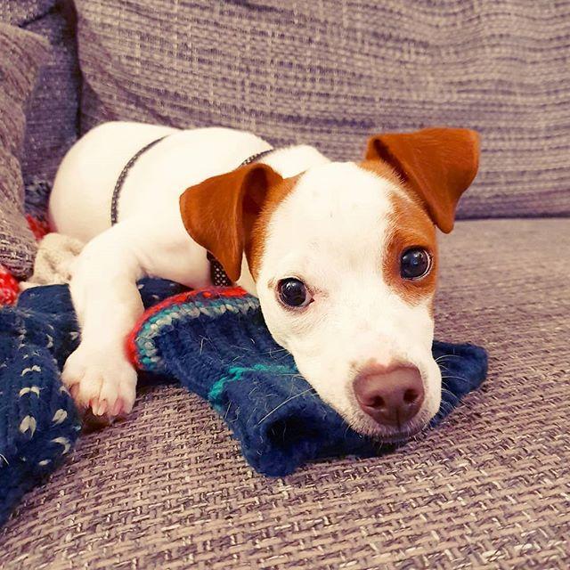 My heart 💔 . #JackRussell #ILoveMyDog #Puppy #PuppiesOfInstagram #PupsOfInstagram #DogsOfInstagram #Dogstagram #DogLovers