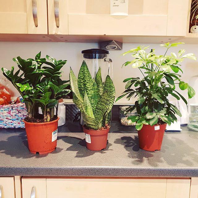 New plant friends 🌱🌱🌱 . #HousePlants #Plants #Sansevieria #HousePlantClub #HousePlantsOfInstagram #Instaplant #Plantstagram