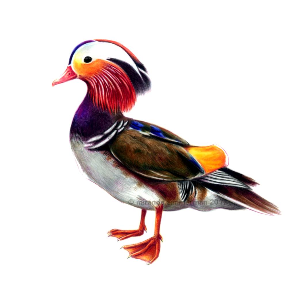 Duckduck.png