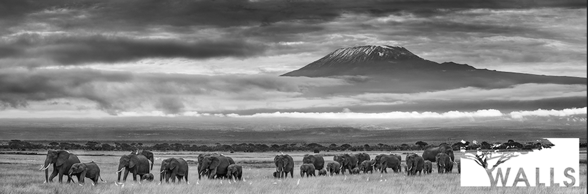 Tembo Jaro   - Mt. Kilimanjaro in the background. Benjamin hid in a blind for two (2) Weeks waiting for the annual elephant migration to pass by.