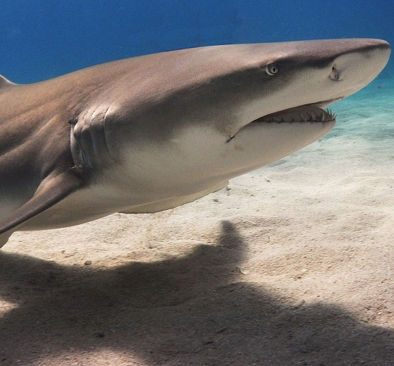 lemon head shark.jpg