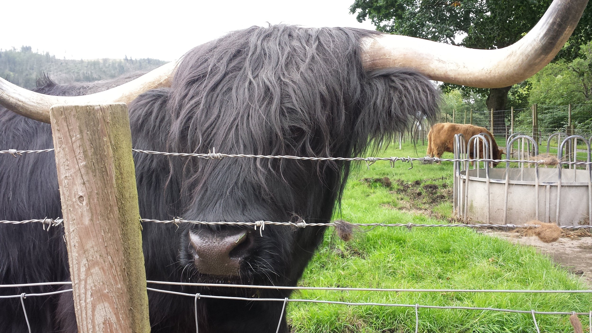 20160901_115959 trossachs highland cow.jpg
