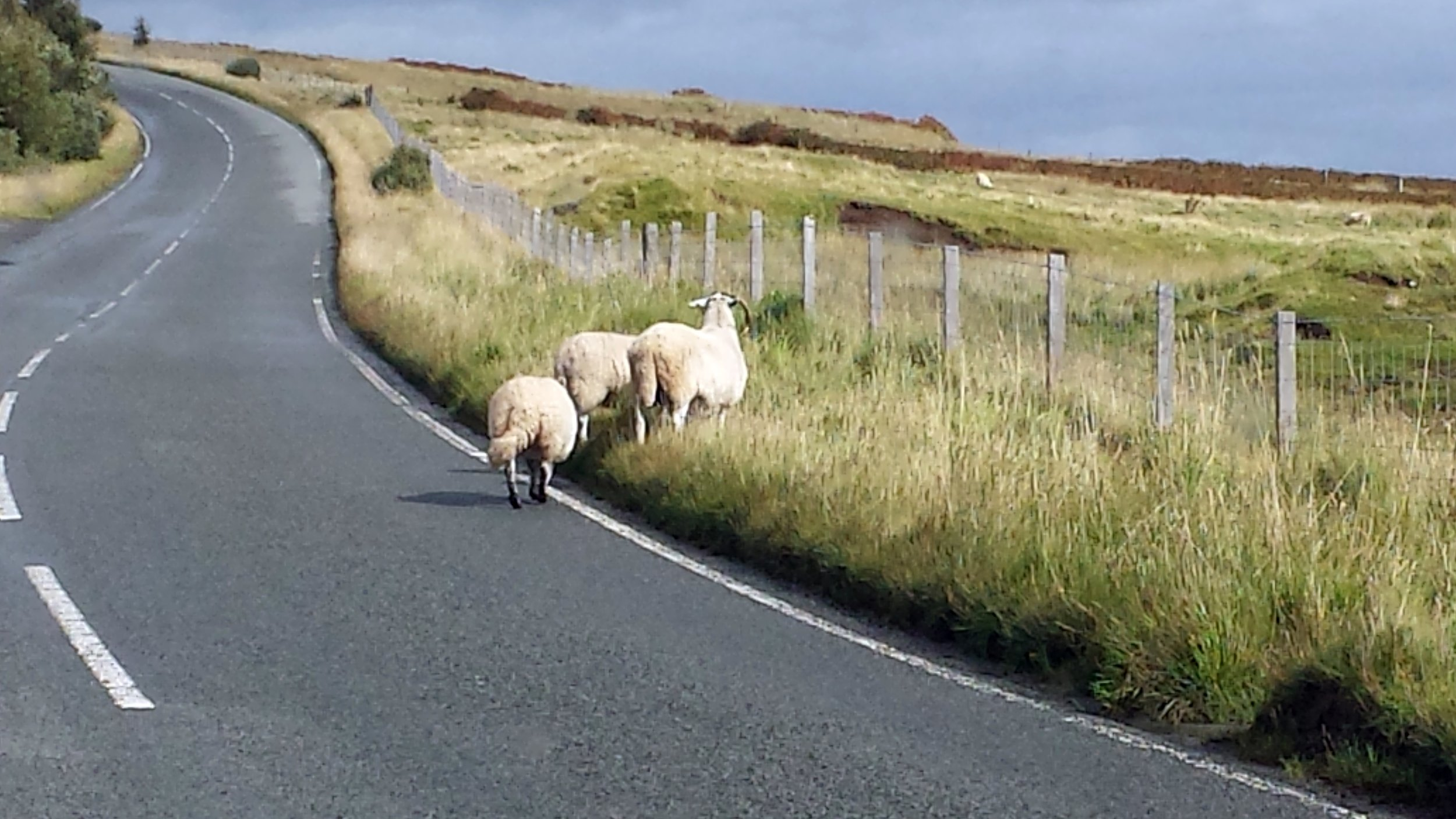 20160903_124313 skye sheep.jpg