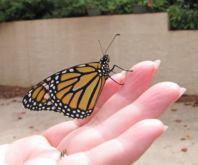 Butterfly in palm by Vicki DeLoach.jpg