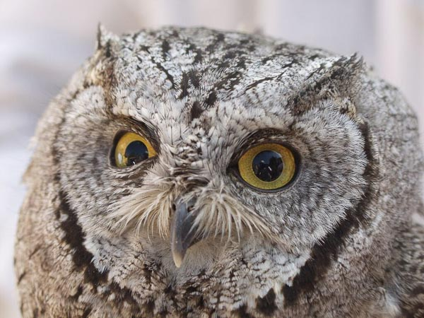 Owl-Zion.jpg