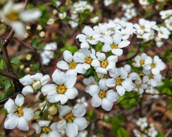 White-Flowers-Zion.jpg