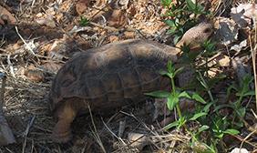Elusive Desert Tortoise