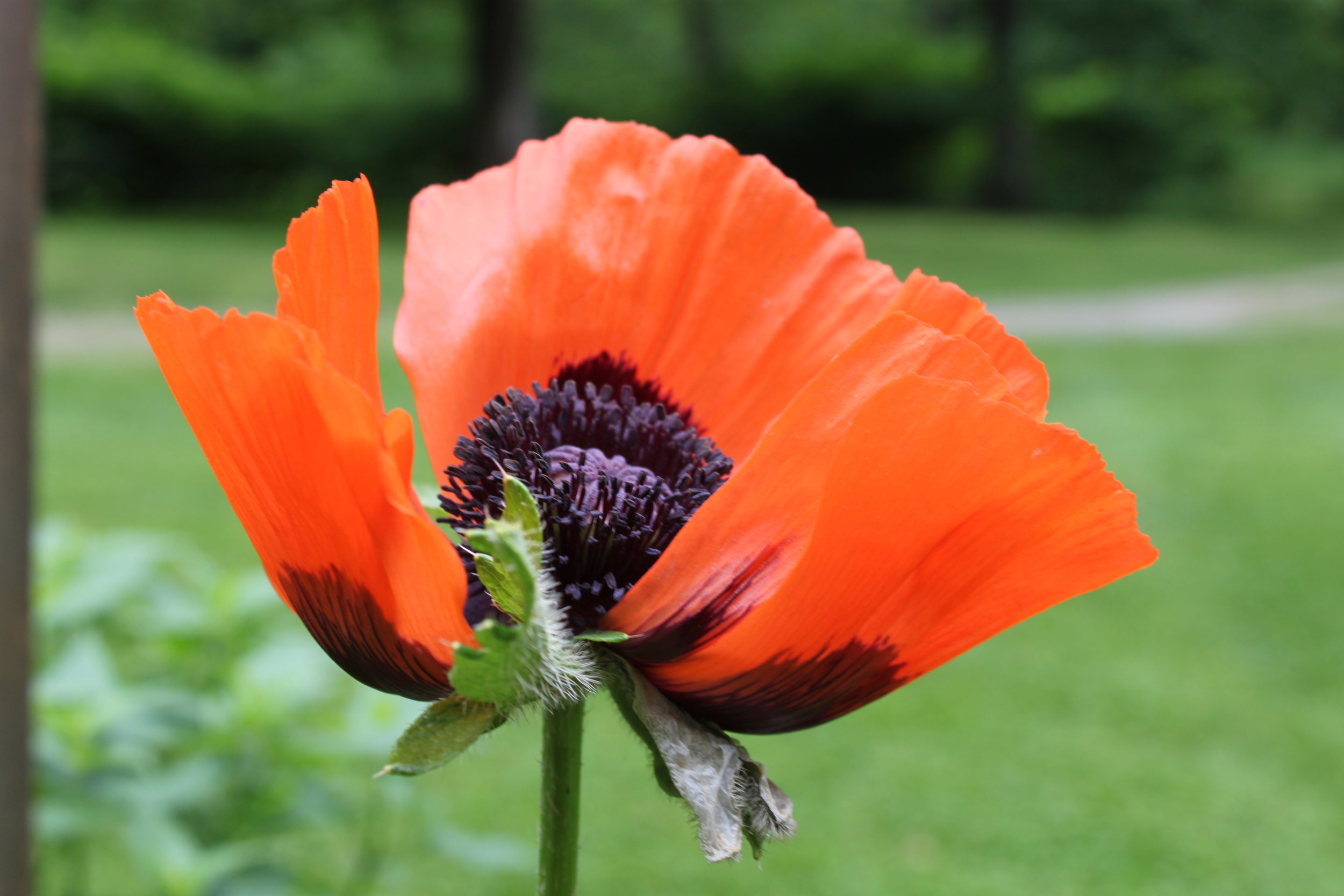Poppies in bloom at Wellnesste Lodge & Cabin Rentals in Taberg, Central NY