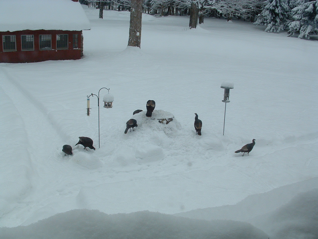 Wild turkeys at Wellnesste Lodge and Nature Sanctuary
