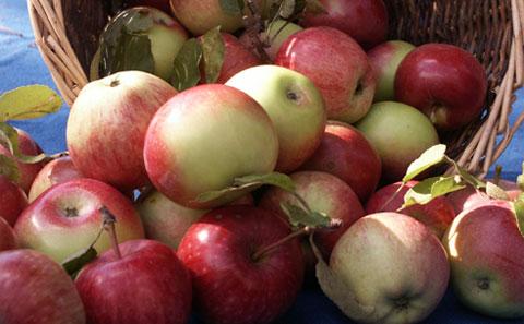 apple-picking11.jpg