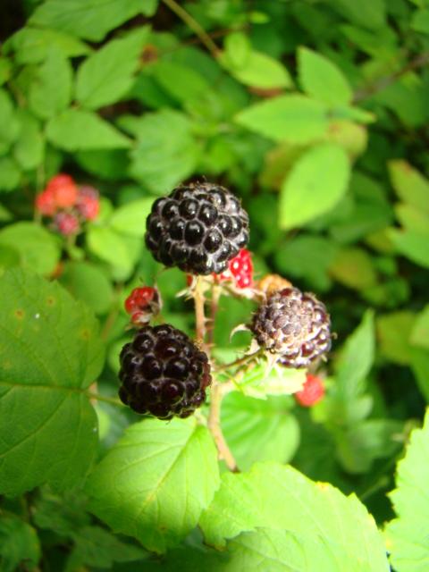 Nature- Wild Blackberries.JPG