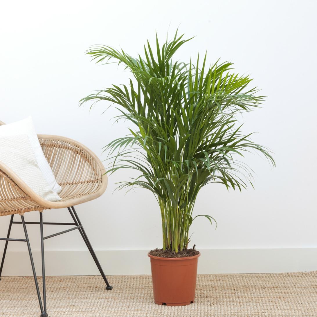 La plante Alphonse (Areca) - Bergamotte