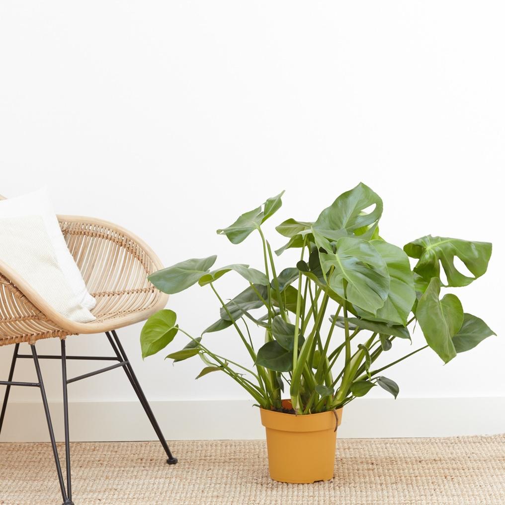 La plante Clara (Monstera) - Bergamotte