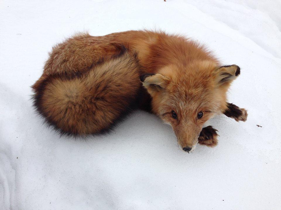 Fox in Winter.jpg