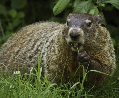 groundhog-956701__340.jpg