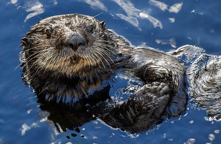 sea-otter-3194446_960_720.jpg