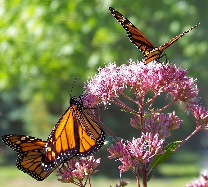 butterfly-18355_960_720.jpg