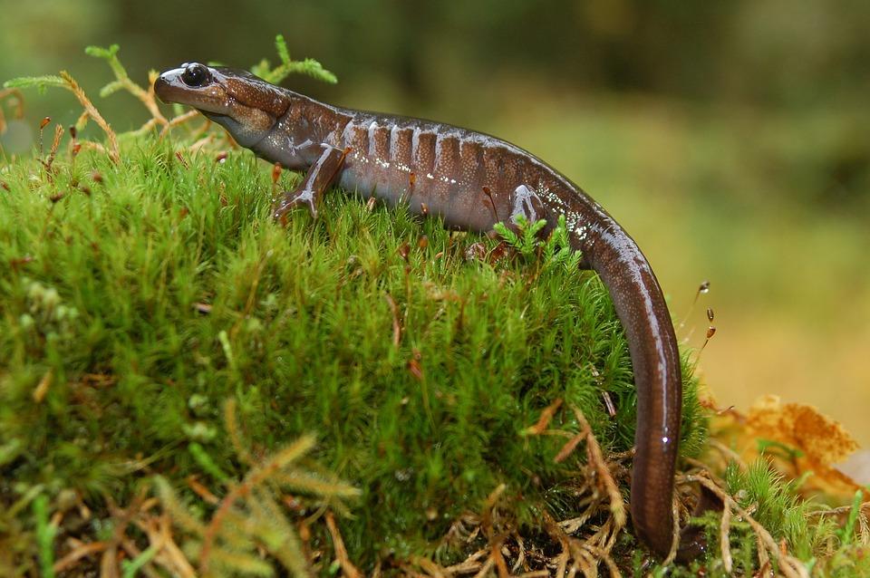 northwestern-salamander-1259799_960_720.jpg