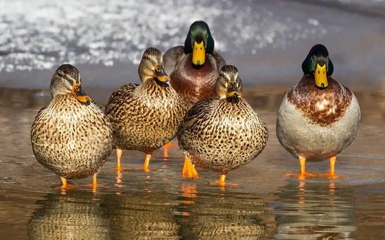 duck-1463317__340.jpg