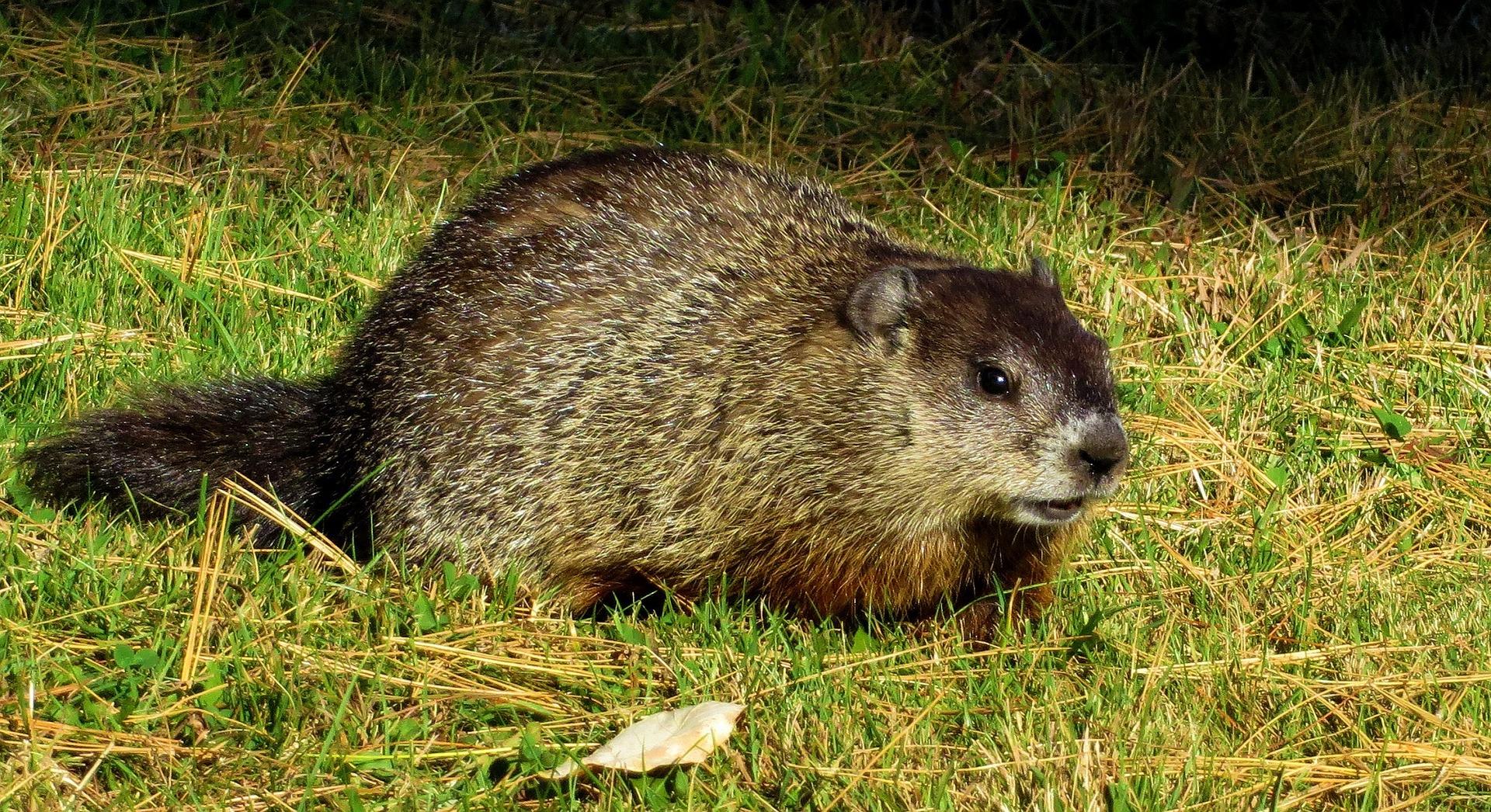 groundhog-1170875_1920.jpg