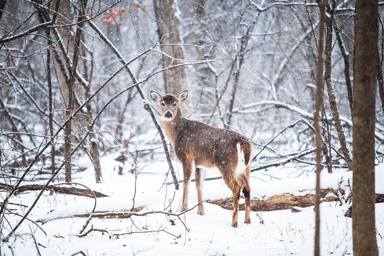 deer-1208198_1280.jpg