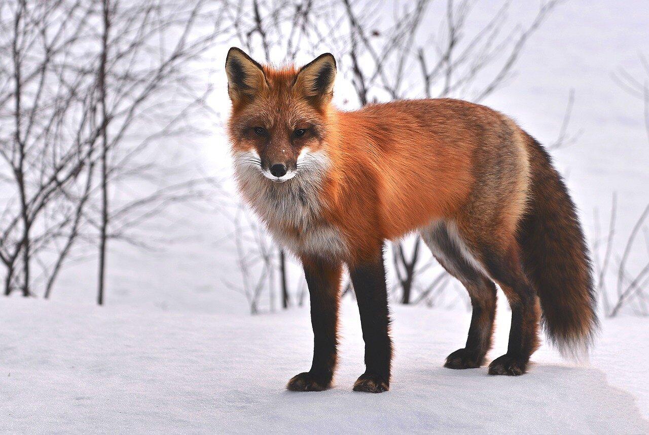 fox-715588_1280.jpg