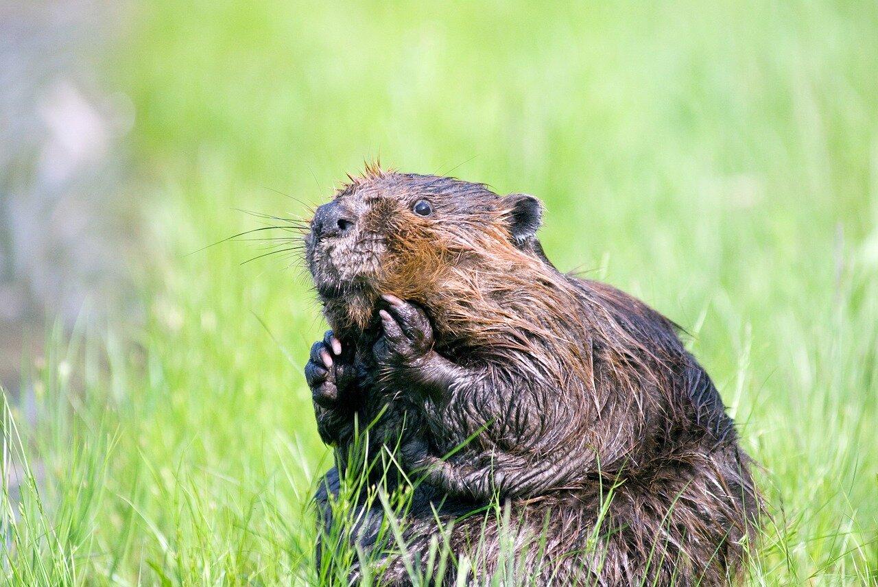 beaver-1448390_1280.jpg